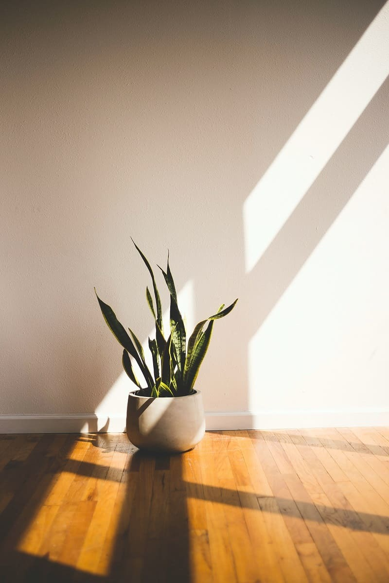 Snake plants look great in your college dorm room