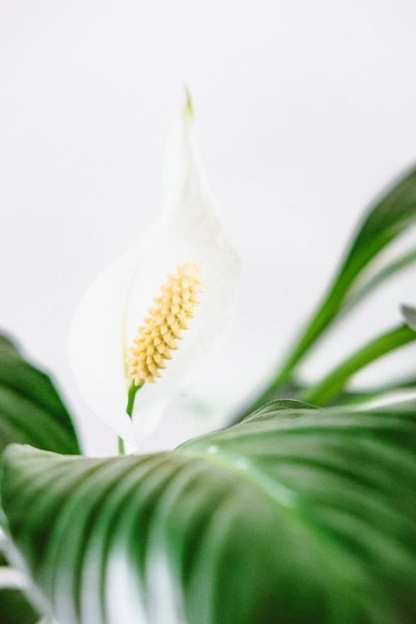 Peace Lily's will grow well as a dorm room plant